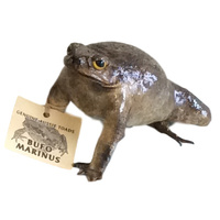 Natural Cane Toad